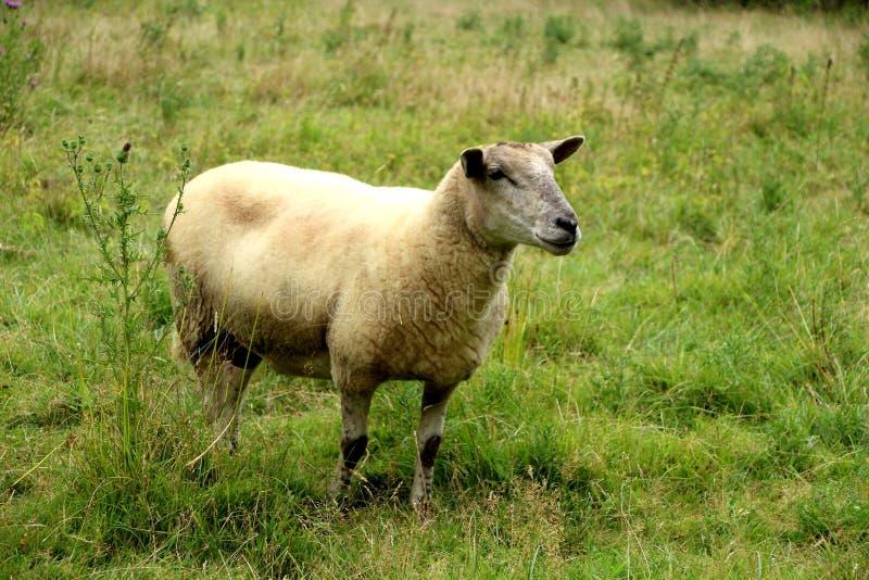 Schapen, een schaap op een gebied in de zomer stock afbeeldingen