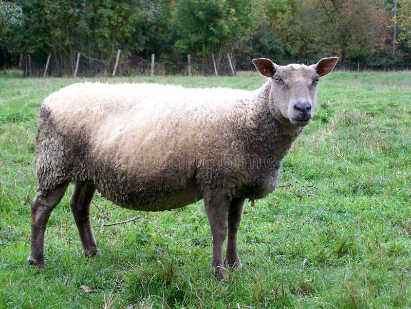 Schapen, een schaap op een gebied in de zomer royalty-vrije stock foto's
