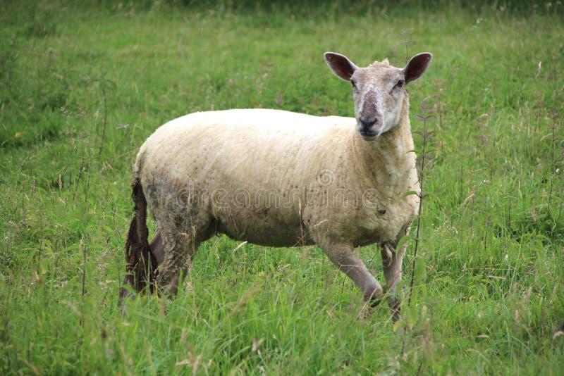 Schapen, een schaap op een gebied in de zomer royalty-vrije stock fotografie