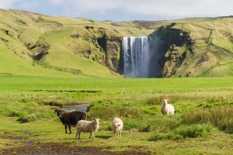 Schapen in een weiland dichtbij de Skogafoss-waterval in IJsland stock afbeelding