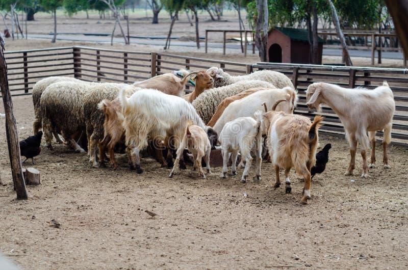 Schapen en geiten in het landbouwbedrijf stock foto