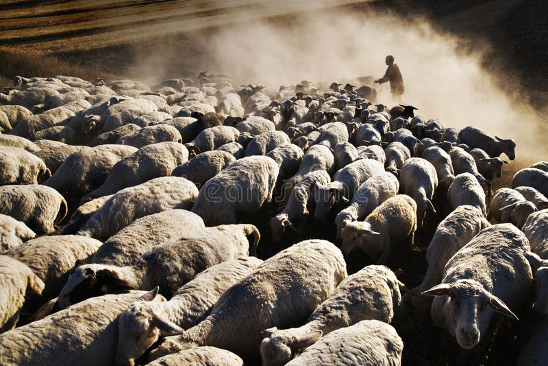 Schapen en herder stock afbeelding