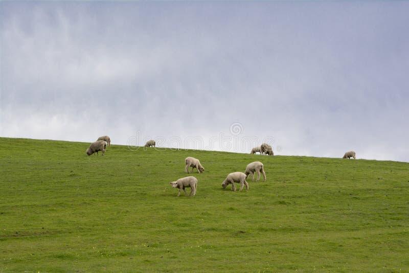 Schapen en Lammeren die op Helling, Barossa-Vallei, Zuiden Austr weiden stock afbeelding