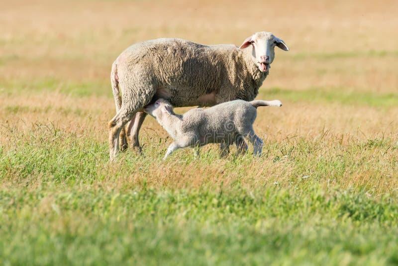 Schapen en Lamsvee op een Landbouwbedrijf royalty-vrije stock foto
