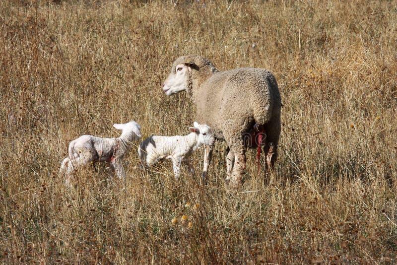 Schapen en nieuw - geboren lammeren in het Park van Gran Sasso, Italië royalty-vrije stock foto