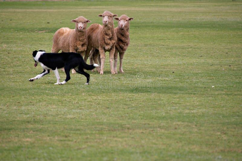 schapen en van de Herdershond proeven   royalty-vrije stock afbeeldingen