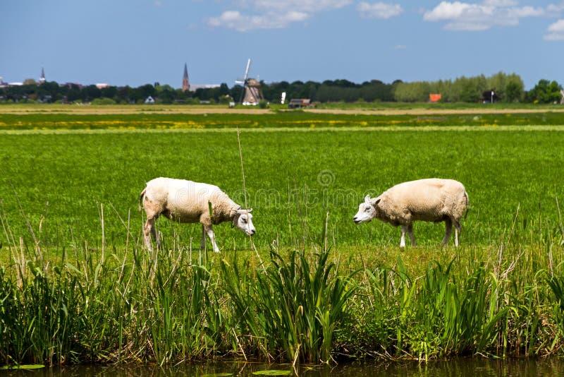 Schapen in Holland royalty-vrije stock afbeelding