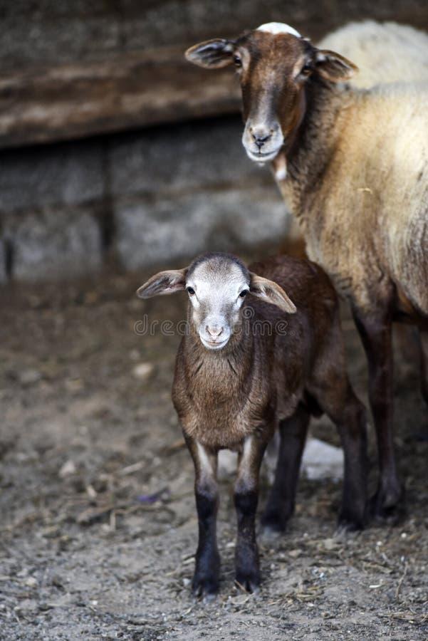 Schapen, klein met mum, in de werf op het landbouwbedrijf royalty-vrije stock afbeelding