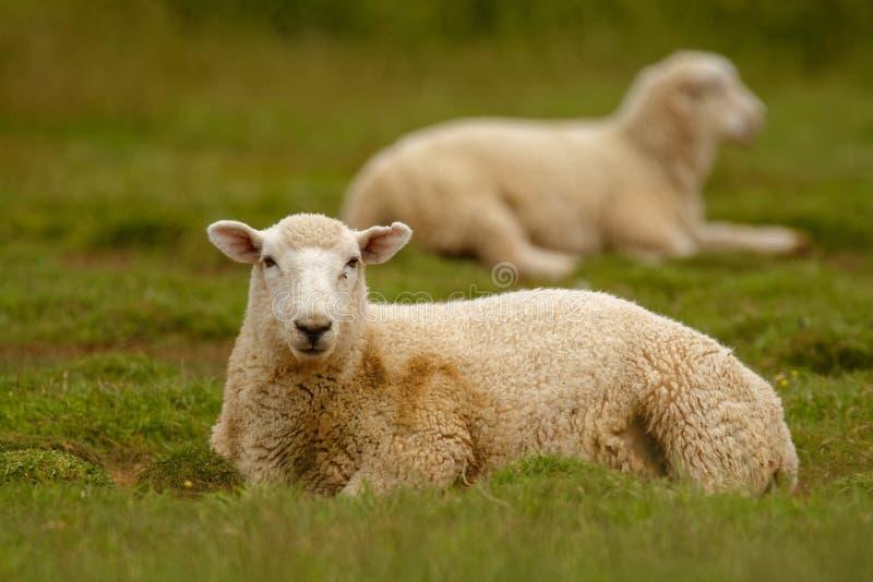 Schapen, landbouwgrond Nieuw Zeeland, Schotland, Australië, Noorwegen, landbouwlandbouwbedrijf stock foto