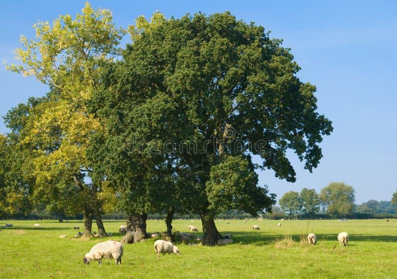 Schapen met Bomen stock afbeeldingen
