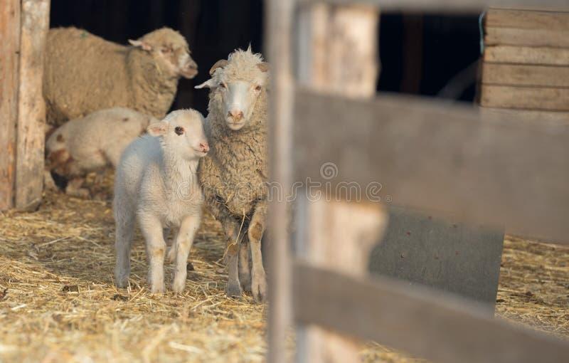 Schapen met jonge schapen Voor de dag van de moeder stock afbeeldingen