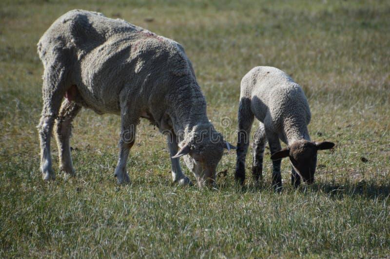 Schapen met lam in de lenteweiland in Carson City Nevada stock afbeeldingen