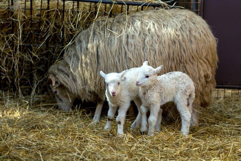 Schapen met lam op landelijk landbouwbedrijf stock afbeelding