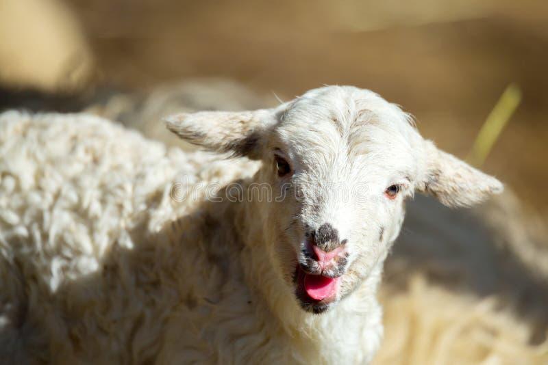 Schapen met lam op landelijk landbouwbedrijf stock fotografie