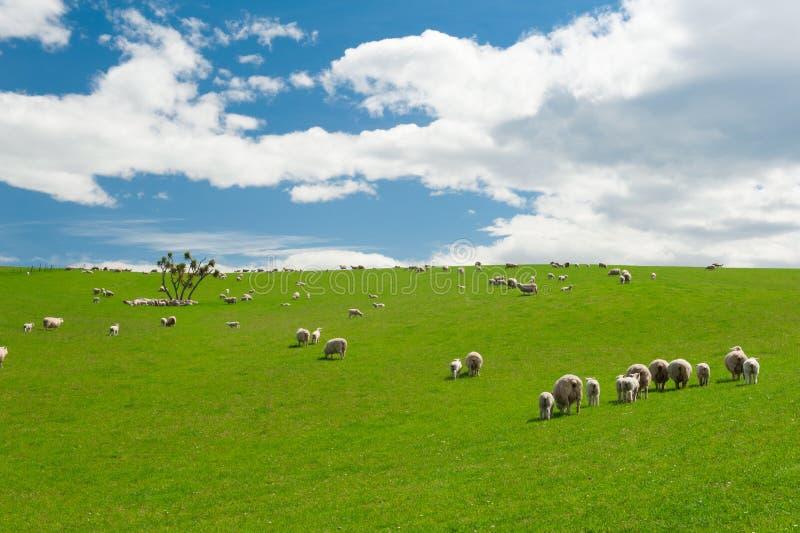 Schapen in Nieuw Zeeland stock afbeeldingen