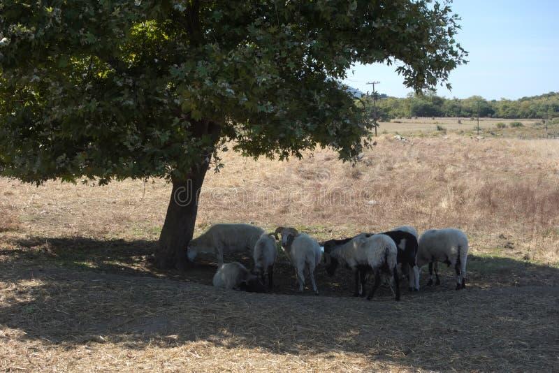 Schapen onder een boom stock foto