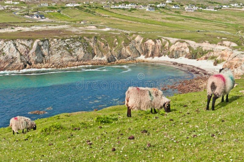 Schapen op clifftop stock afbeeldingen