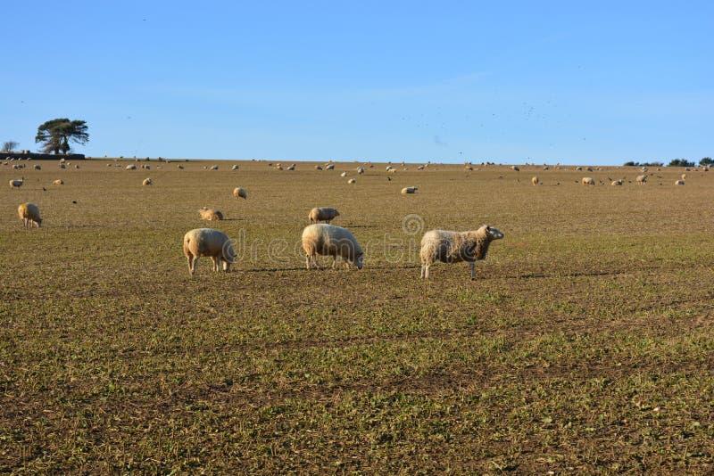 Schapen op een gebied, landelijk landschap in de winter op een duidelijke, zonnige dag royalty-vrije stock foto's