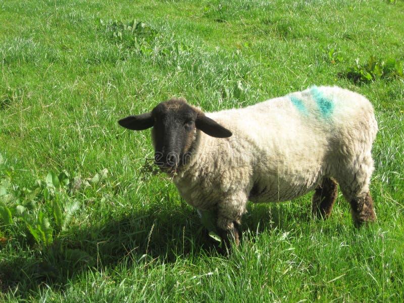 Schapen op het gras in Ierland stock foto