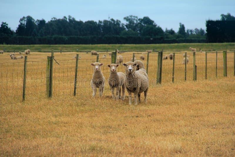 Schapen op landbouwbedrijf royalty-vrije stock afbeelding