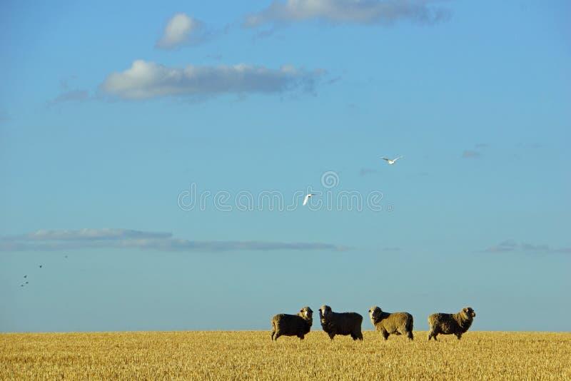 Schapen op landbouwbedrijf in centrale Victoria, Australië royalty-vrije stock fotografie