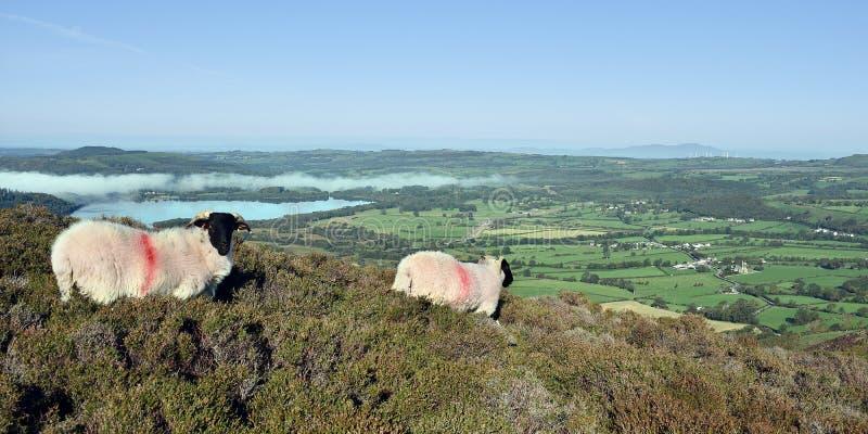 Schapen op panoramische heuvel, stock fotografie