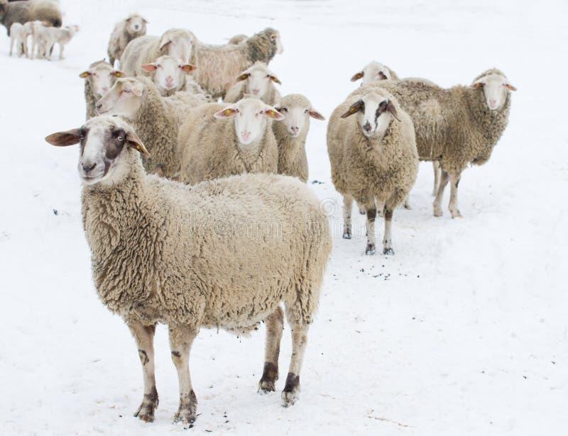 Schapen op sneeuw stock foto's
