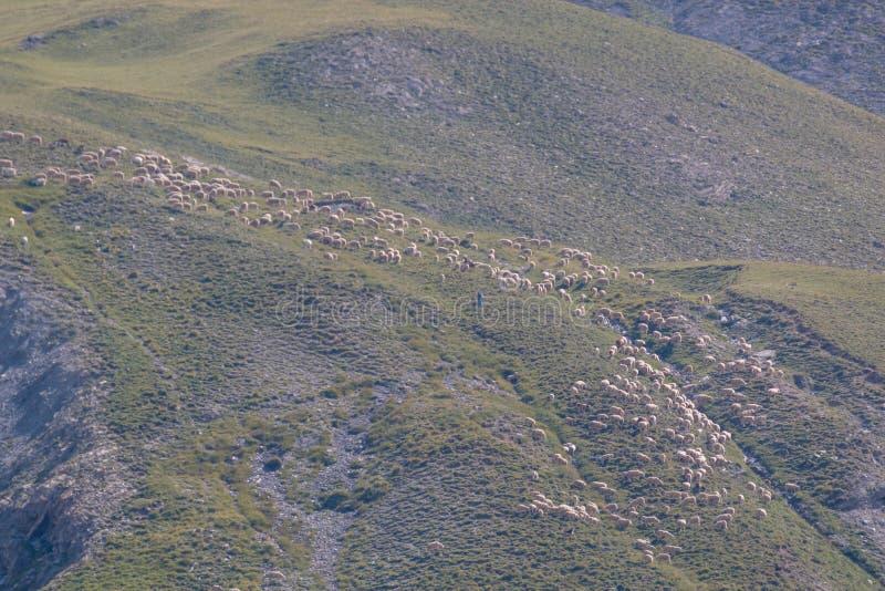 schapen in transhumance op de Alpen royalty-vrije stock fotografie