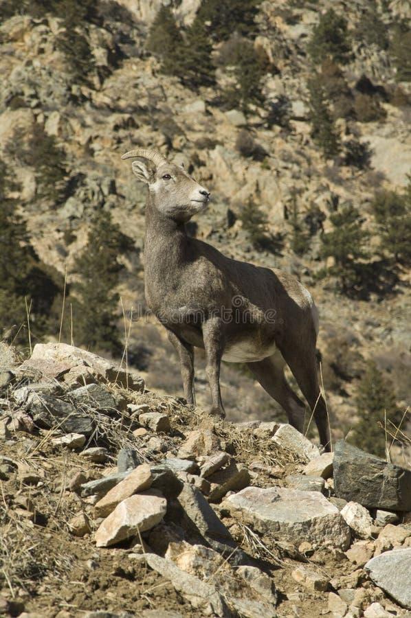 Schapen van de Hoorn van Colorado de Grote stock afbeelding