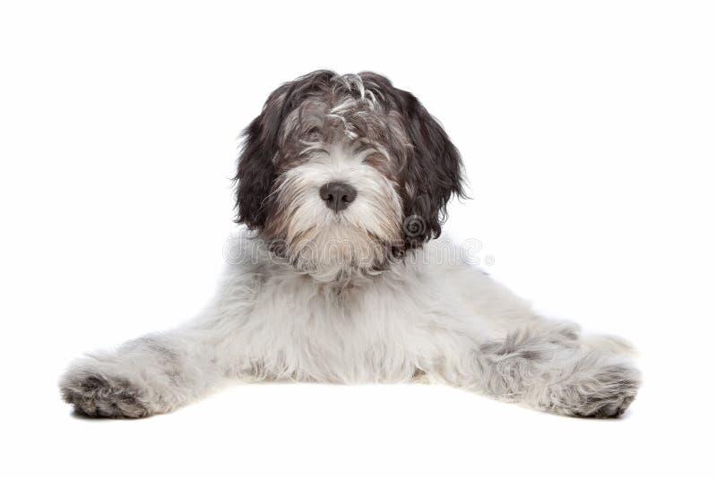 Schapendoes, Sheepdog holandês imagem de stock
