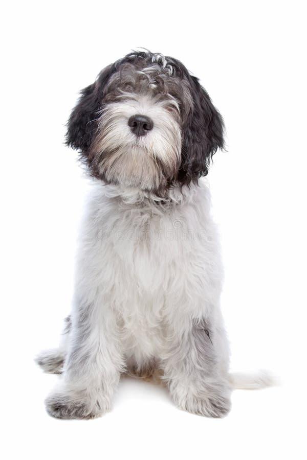 Schapendoes, Sheepdog holandês fotografia de stock royalty free