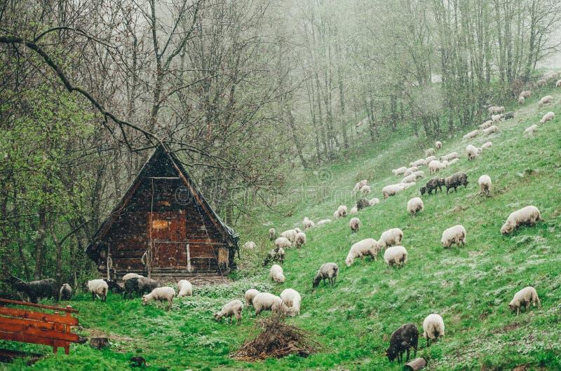 Schapenkudde bij berglandbouwbedrijf in de sneeuw behandelde weiden De hut van de herder op een achtergrond stock afbeelding