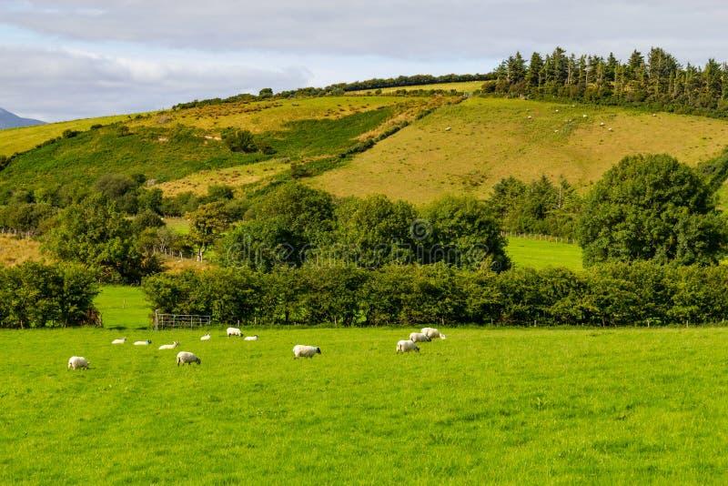 Schapenkudde op een Landbouwbedrijfgebied in Greenway-route van Castlebar aan W stock foto's