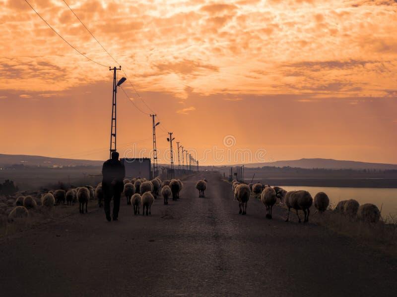 Schapenkudden die op de weg en de schapen achter hen lopen herder die met sheeps bij zonsondergang lopen stock foto's