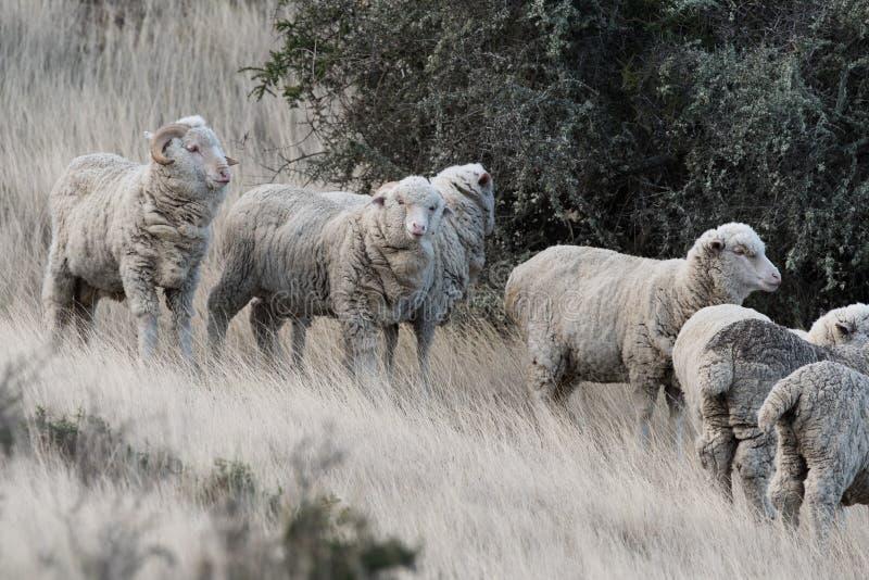 Download Schapentroep Op Het Grasachtergrond Van Patagonië Stock Afbeelding - Afbeelding bestaande uit heuvel, nave: 54080541