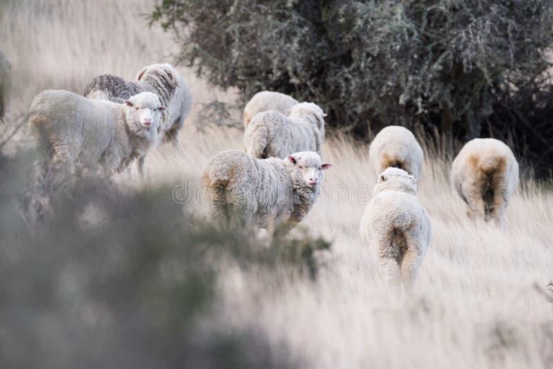 Download Schapentroep Op Het Grasachtergrond Van Patagonië Stock Foto - Afbeelding bestaande uit groep, mens: 54080740