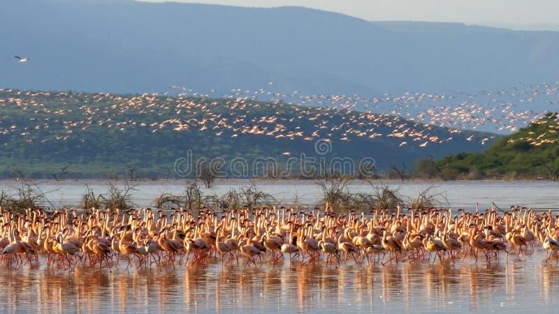Scharen Sie sich von wenigen Flamingos nehmen Flugsee bogoria, Kenia stockfotos