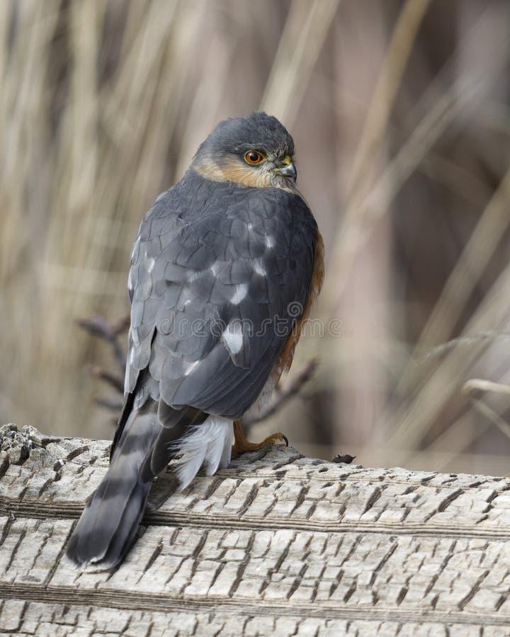 Scharf-hinaufgekletterter Falke gehockt auf einem Klotz lizenzfreie stockfotografie