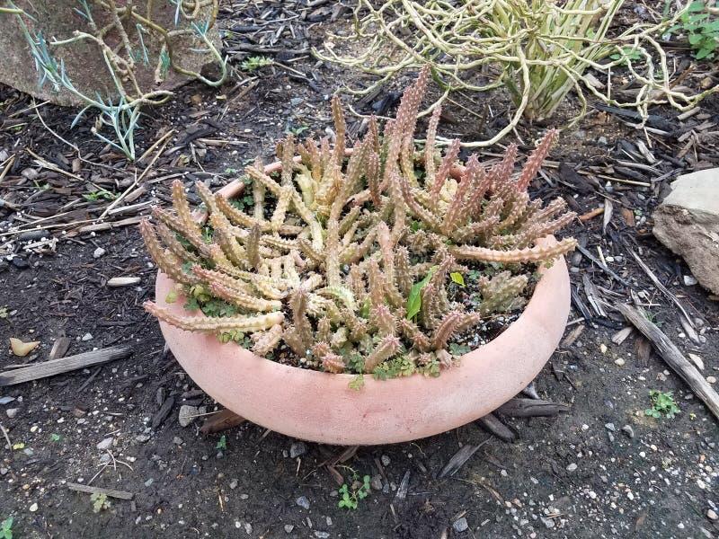 Scharfer und stacheliger Kaktus im Blumentopf stockfoto