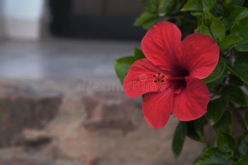 Scharlachrot Hibiscusblüte stockbild