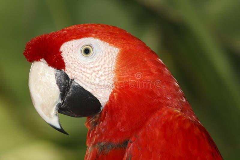 Scharlachrot Macaw- lizenzfreie stockfotos