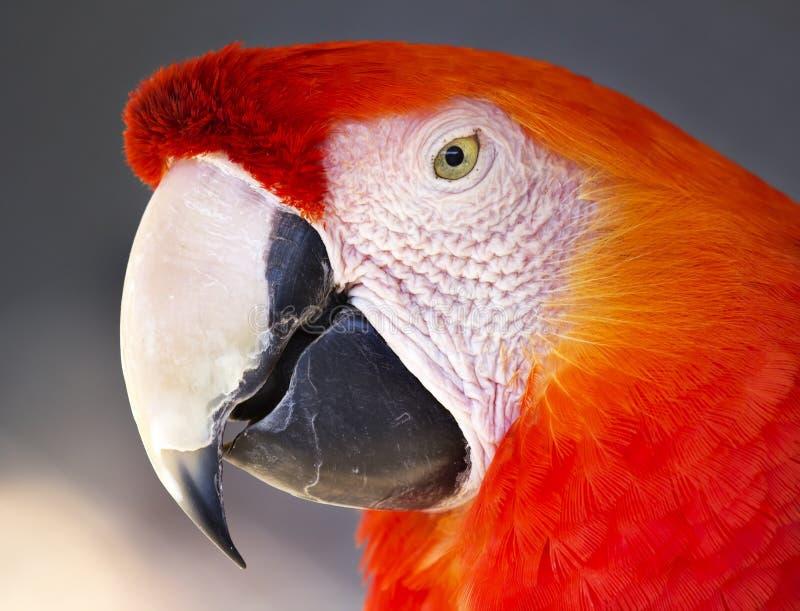 Scharlachrot Macaw- stockfoto