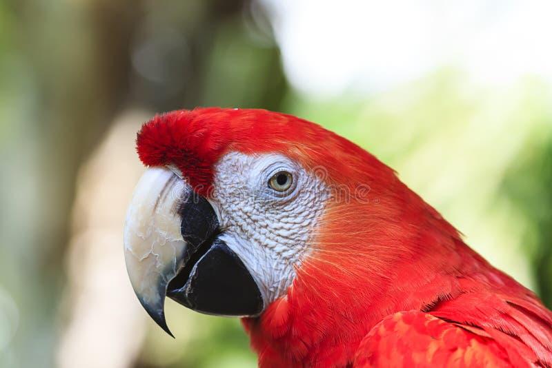 Scharlachrot Macaw lizenzfreie stockfotos