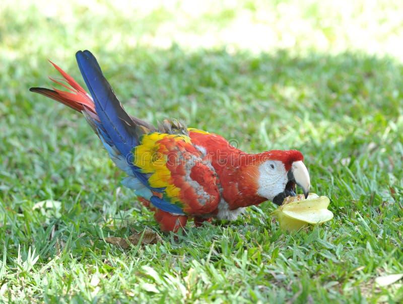 Scharlachrot Macaw, der Sternfrucht, Honduras isst stockfotos