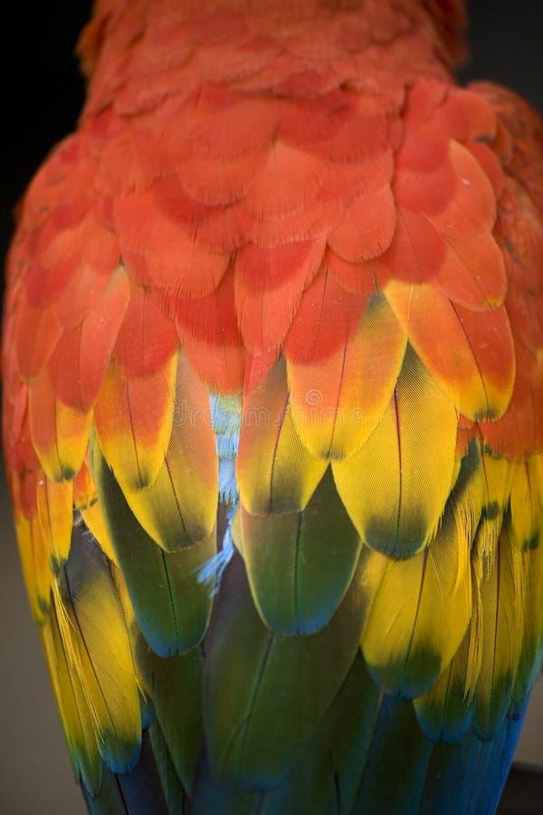 Scharlachrot Macawfedern lizenzfreie stockbilder
