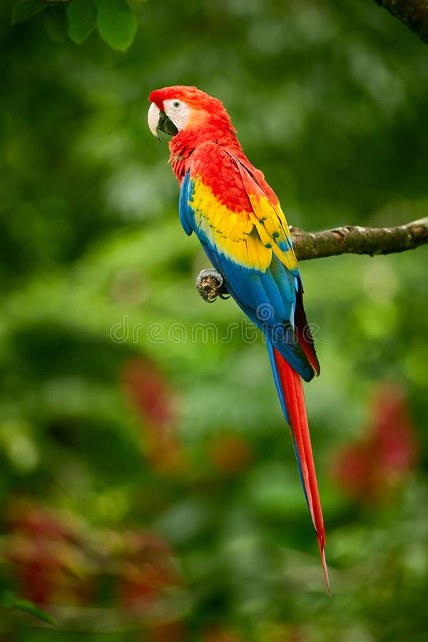 Scharlakansröd ara för röd papegojaarapapegoja, munkhättor Macao, i tropisk skog, Costa Rica arkivfoton