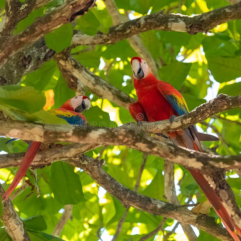 Scharlakansröd ara, papegojor royaltyfria bilder