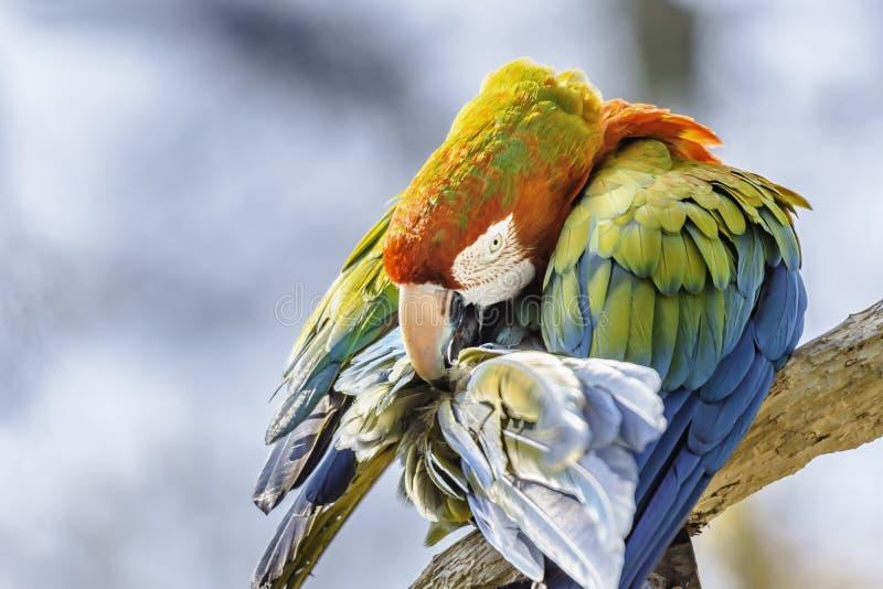 Scharlakansröd arapapegoja som sätta sig på filial och gör ren dess fjädrar Färgglad fågelstående arkivbilder