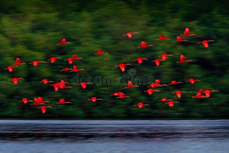 Scharlakansröd ibis-, Eudocimus ruber, exotisk röd fågel, naturlivsmiljö, fågelkoloni som flyger på ovanför floden, Caroni träsk, royaltyfria bilder