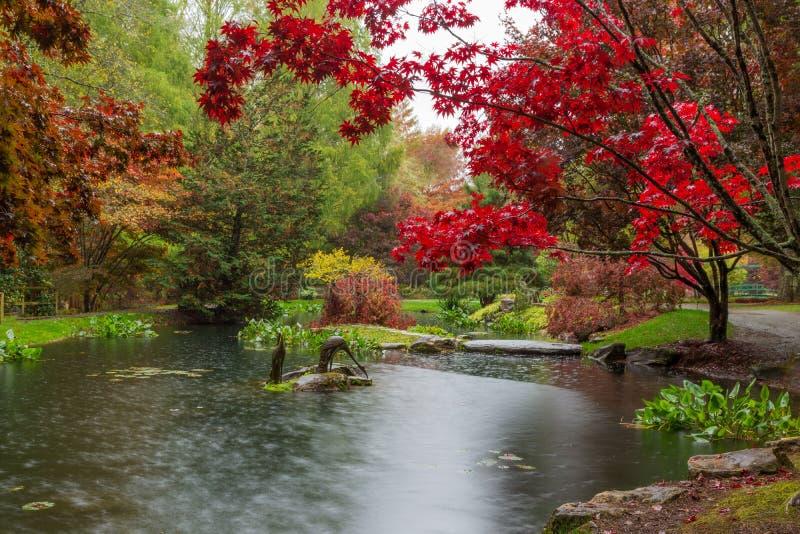 Scharlakansröd röd japansk lönn över waterlily dammet på Gibbs trädgårdar i Georgia i nedgången royaltyfri fotografi